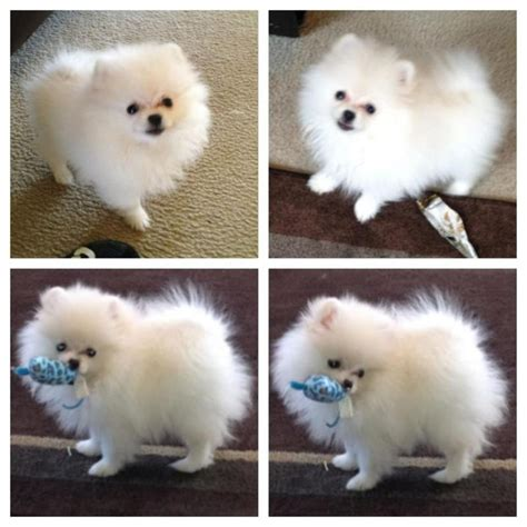 pocket pomeranian for sale below are our exles of whites we produced here to give you an idea what our