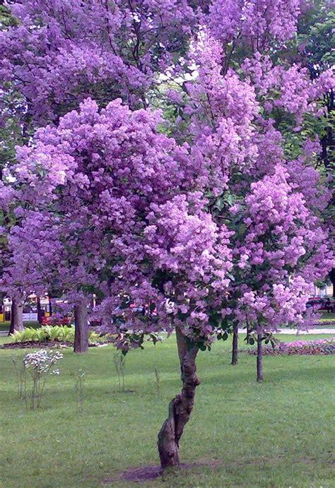 purple tree   purple trees purple flowers