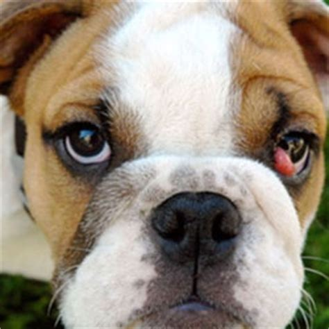 cherry eye in puppies cherry eye in dogs pets magazine