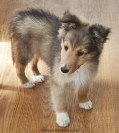sheepdog puppies for sale in pa a warm welcome to sunburst shelties sheltie puppy for sale in shetland sheepdog