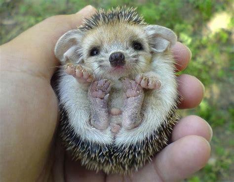 cute baby hedgehog smiling a british hedgehog cuteness pinterest