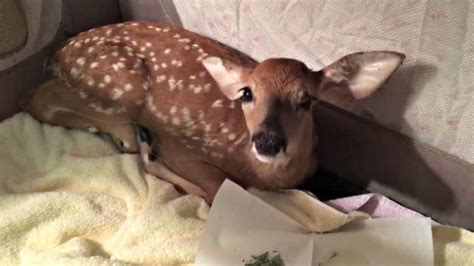 golden retriever saves fawn rescues drowning baby deer in the most adorable you ll see today