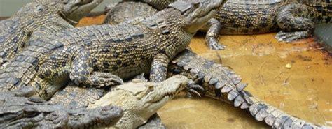 Japit Buaya Kecil Jepitan Crocodile Kecil serem 100 buaya turut lepas saat banjir besar landa thailand republika