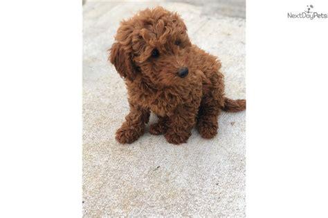 mini goldendoodles dallas tx goldendoodle puppy for sale near dallas fort worth