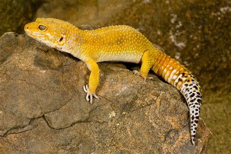 Leopard Gecko 2 leopard gecko morphs colors of leopard geckos