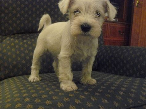 white miniature schnauzer puppies for sale white miniature schnauzer puppies for sale in il clinic car interior design