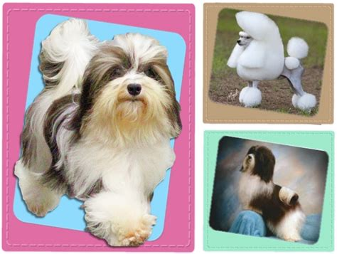 honor havanese contact forever poodles honor havanese