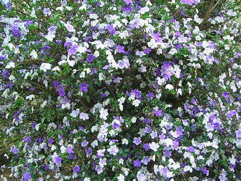 i fiori pi profumati piante tropicali a fiori profumati brunfelsia pauciflora