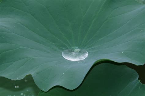 Lotus Leaf Original 30pcs photos by andrew rogers at coroflot