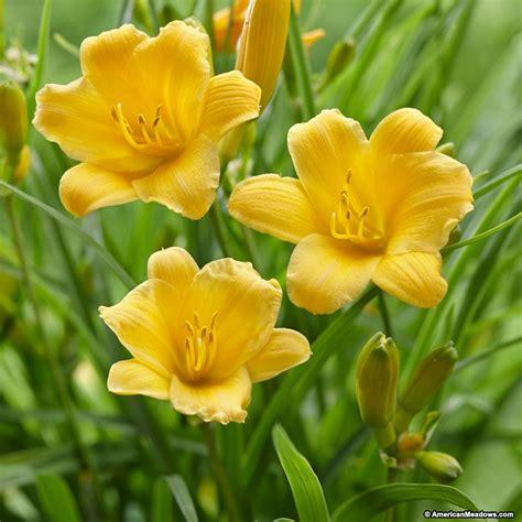Stelan Flower stella d oro daylily hemerocallis american