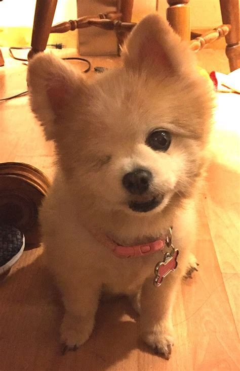 one eyed pomeranian some of the oldest dogs adopted by with the hearts theplunder
