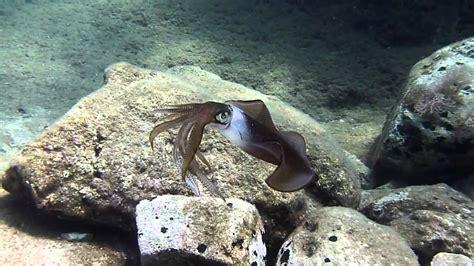 color squid amazing squid changing color