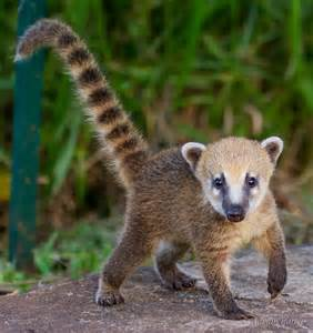 Caring For Fruit Trees - coati facts history useful information and amazing pictures