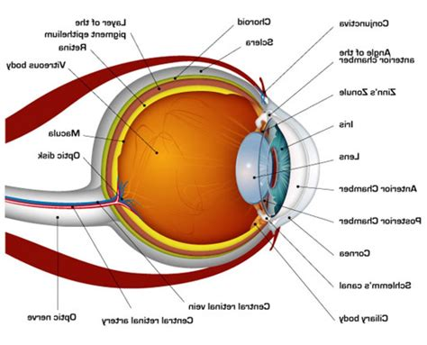 diagram of printable human eye diagrams diagram site
