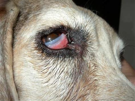 cherry eye in with possible cherry eye