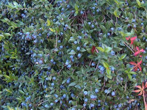 pianta mirto in vaso mirto pianta piante da giardino mirto