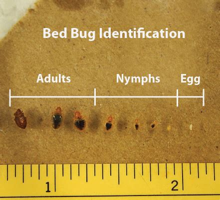 bed bug eggs size bed bug pictures zappbug