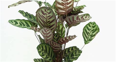 piante di interno piante verdi da interno piante appartamento piante da