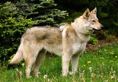 czechoslovakian wolfdog puppies czechoslovakian wolfdog breed information and pictures