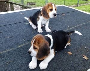 beagle puppies for sale in wv tri color beagle puppies for sale rosebud tx free classifieds in usa