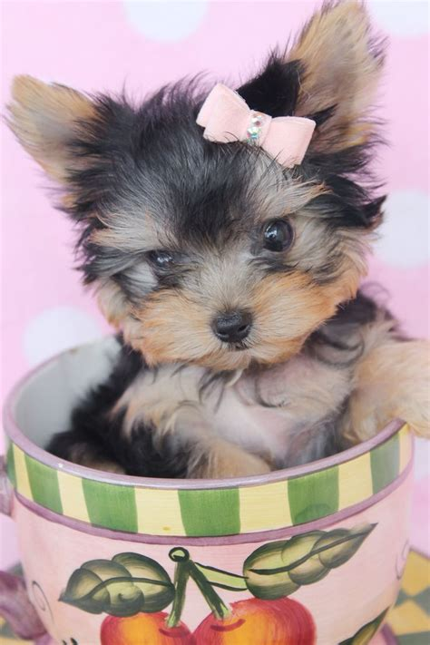teacup yorkies south florida 17 best images about adorable t cup puppies for sale on morkie puppies for