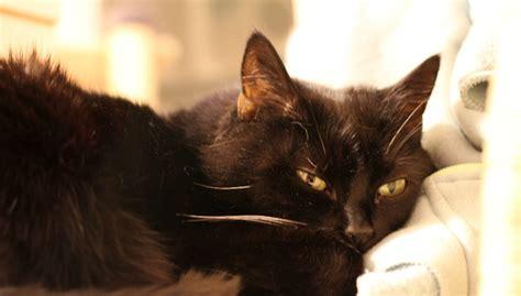 Schuppen Bei Katzen Ursachen Und Behandlung Revvet De