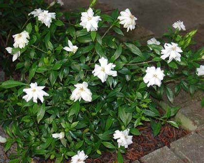 Types Of Garden Roses - gardensonline gardenia augusta radicans