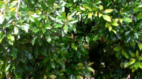 Herbafarm Pupuk Cair cengkeh menggunakan pupuk cair herbafarm di posona kab