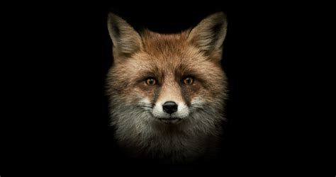 Le Fuchs