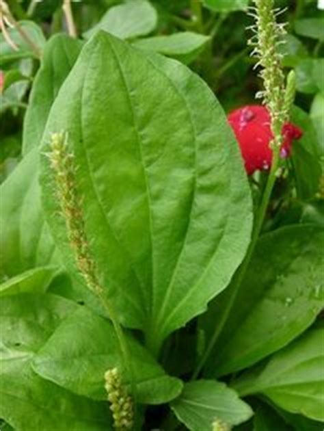 this little weed is one of the most useful medicines on this little weed is one of the most useful medicines on