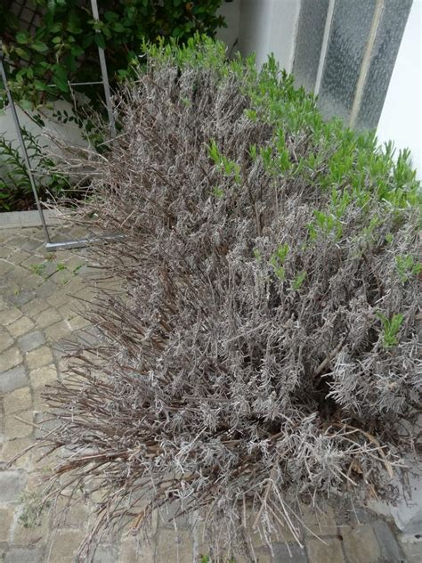 how to revive a dying plant diagnosis revive a dying lavender for a dummy gardening landscaping stack exchange