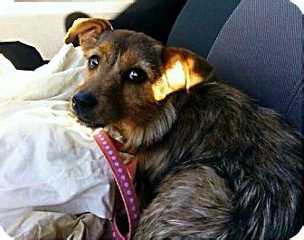 yorkie rescue columbus ohio columbus oh yorkie terrier terrier mix meet juliet a