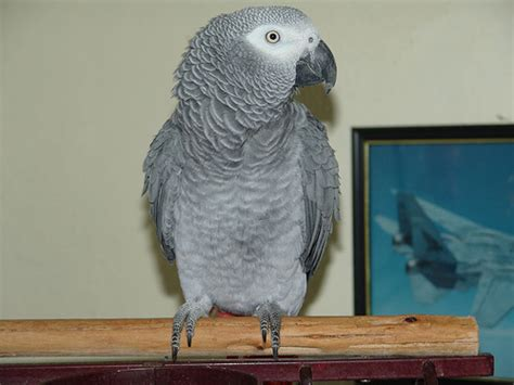 how much does african gray parrot cost howmuchisit org