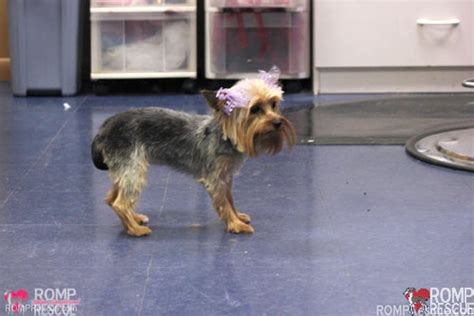 what to give a yorkie for diarrhea teacup for adoption puppy