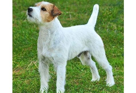 Parson Terrier Shedding by The Writer S Straightening Out The