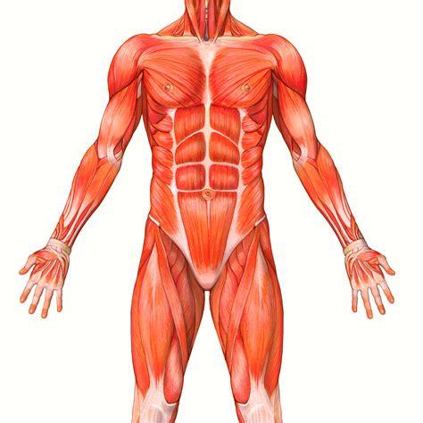 interno corpo umano i muscoli e la loro composizione fitness c