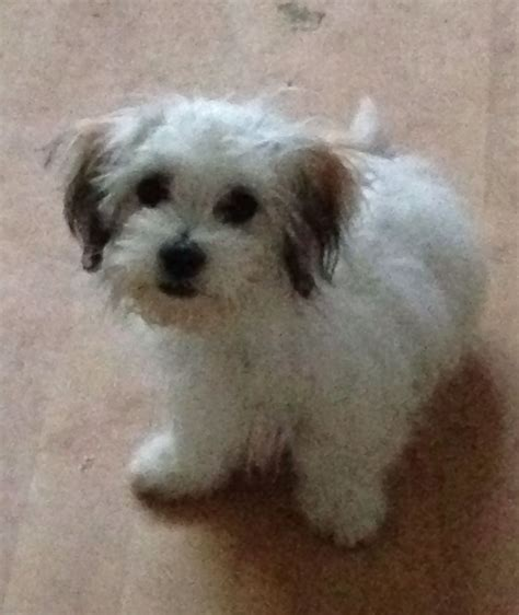 malti shih tzu mix pin maltese shih tzu mix cacheda puppies all our on