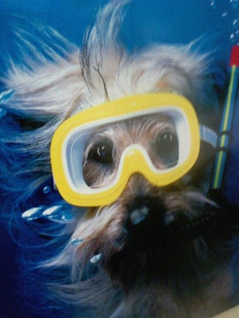 can yorkies swim 17 best images about dive humor on locks scubas and key