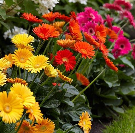 flowers plants gerbera plants selection of three beautiful hardy