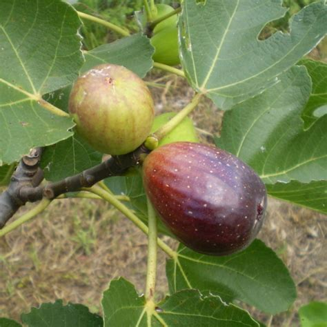 why is my fig tree not producing fruit growing figs aussie organic gardening