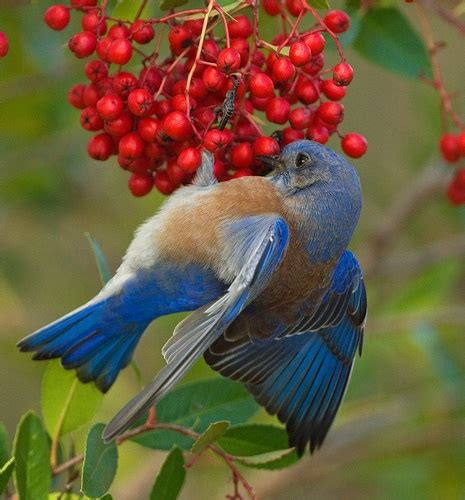 17 best images about bluebirds of happiness on pinterest