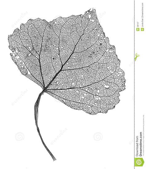 printable skeleton leaves leaf skeleton stock image image of venation network