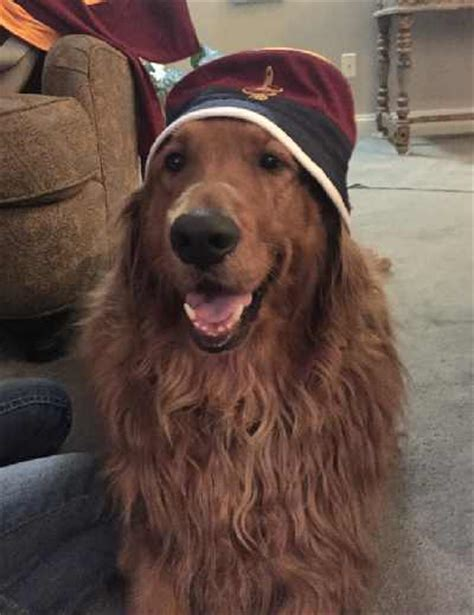 are golden retrievers easy to potty golden retriever interivew with a golden owner