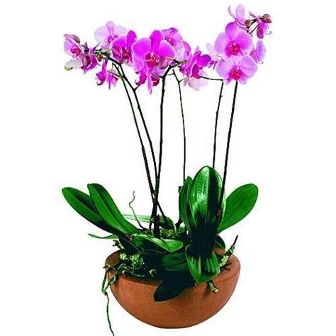 livraison d orchid 233 es coupe de phalaenopsis par florajet