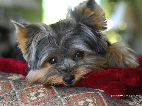 Yorkie Wallpaper For Walls | yorkshire terrier wallpapers wallpaper cave