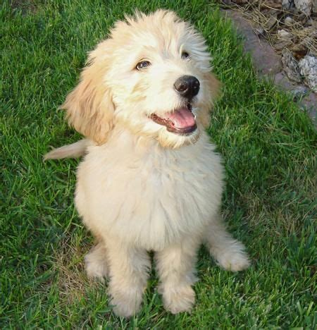 mini doodle toronto miniature goldendoodle puppies sir gordon the mini