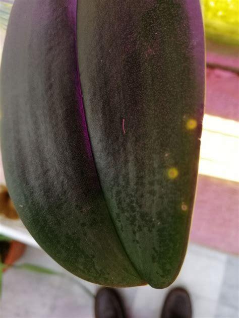 phalaenopsis leaf spots