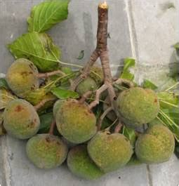 Minyak Kemiri Warna Kuning catatan sudarsono martoyo biofuel kemiri sunan