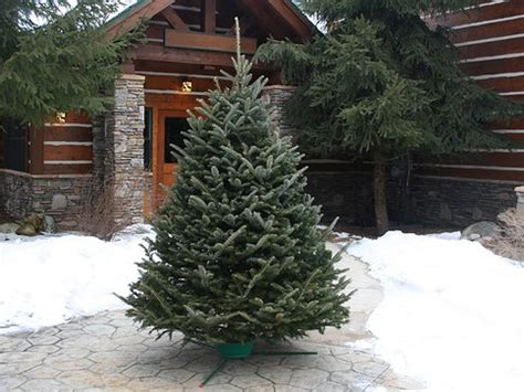 over 50 off fresh cut christmas trees free delivery