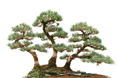 bonsai tree outdoor archives how to grow a bonsai tree
